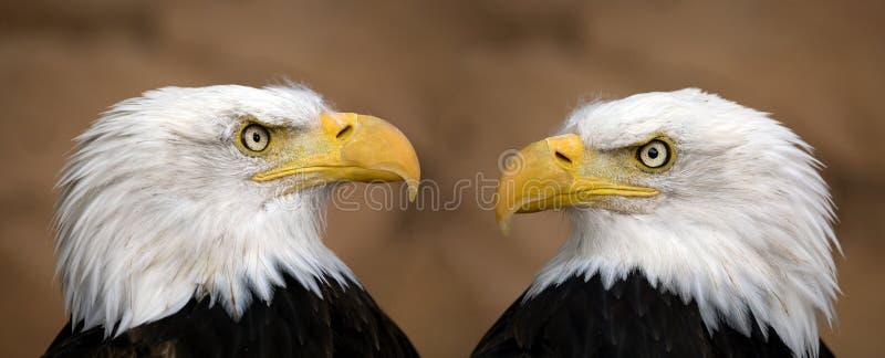 американские облыселые орлы стоковая фотография rf