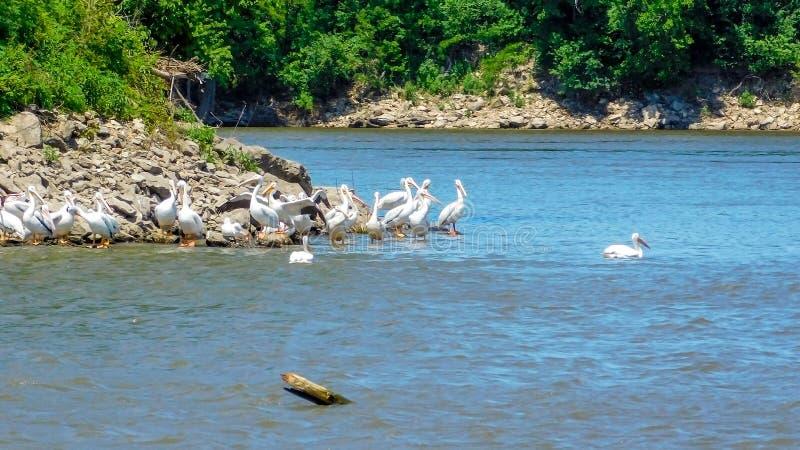 американские пеликаны белые стоковое изображение