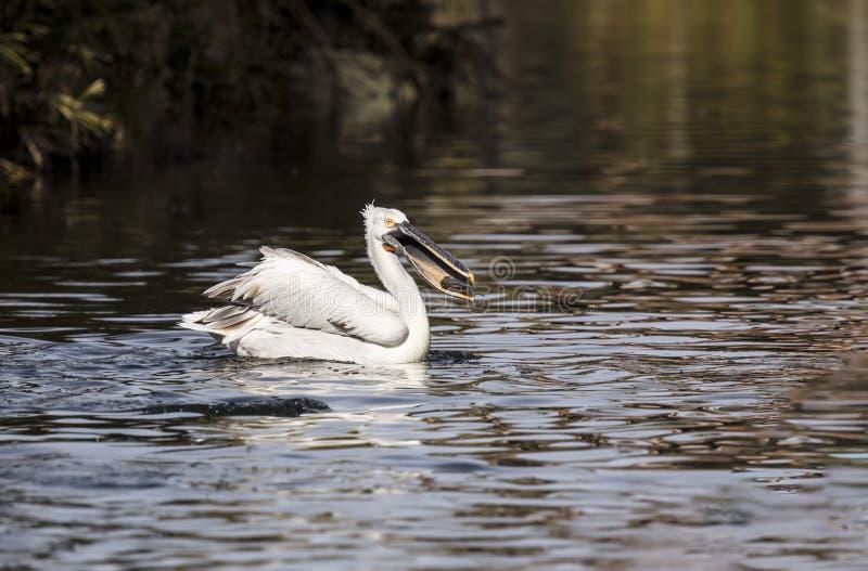 американские пеликаны белые стоковое изображение rf