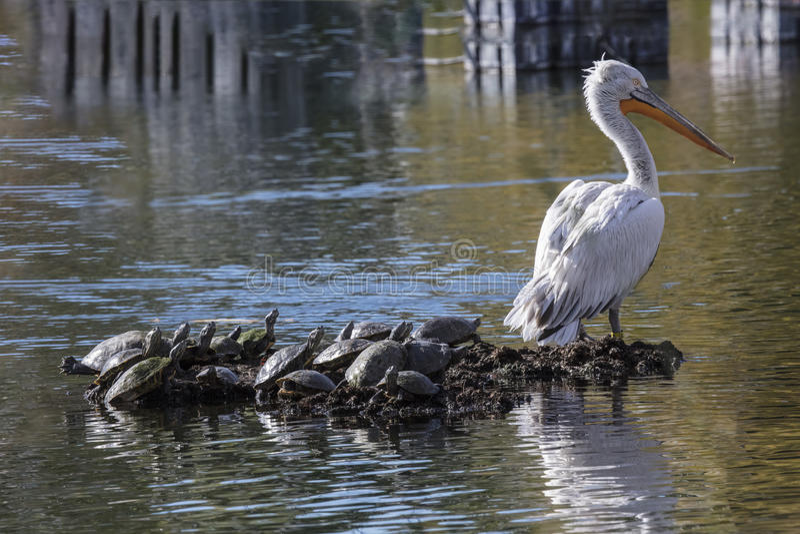 американские пеликаны белые стоковое фото rf