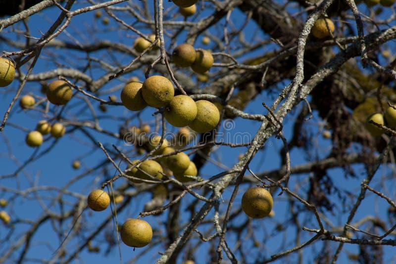 американские черные грецкие орехи nigra juglans стоковое фото rf