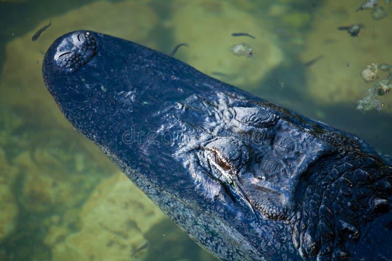 Американский аллигатор в ключах Флориды стоковое фото