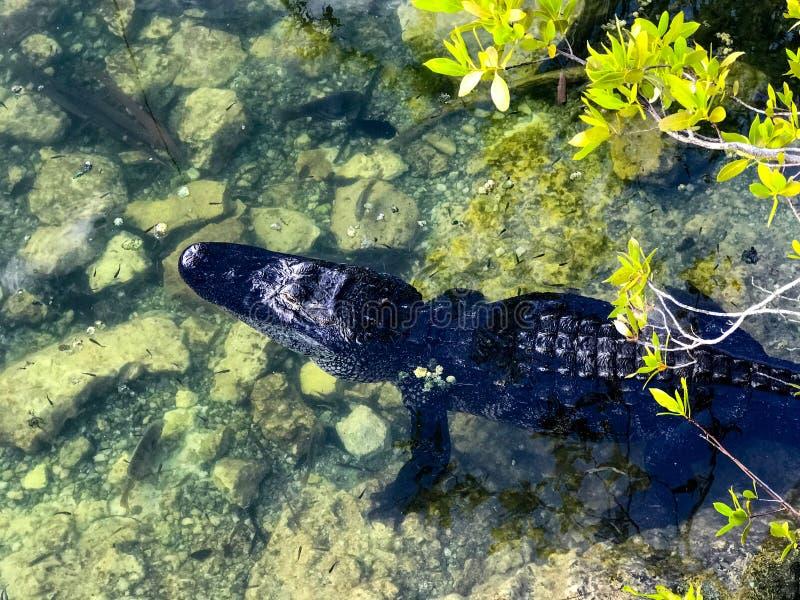 Американский аллигатор на свище в металле в ключах Флориды стоковое фото