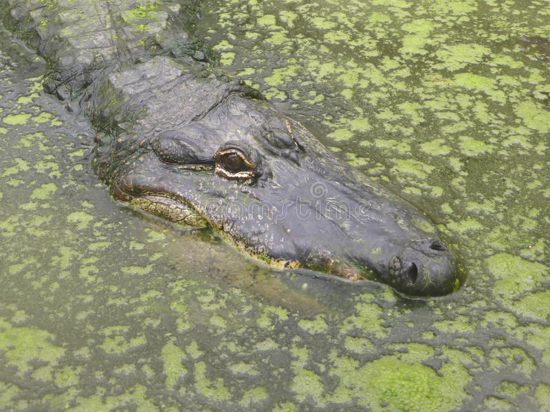 Американский аллигатор смотря вне на мире стоковое изображение rf