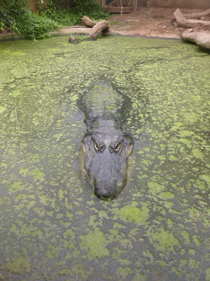 Американский аллигатор смотря вне на мире стоковая фотография rf