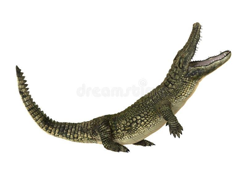 Американский аллигатор стоковые фотографии rf