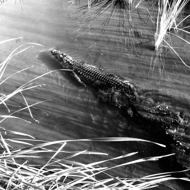 Американский аллигатор стоковые изображения