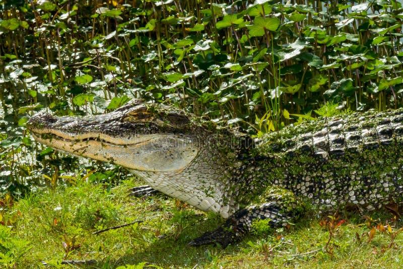 Американский аллигатор стоковое фото