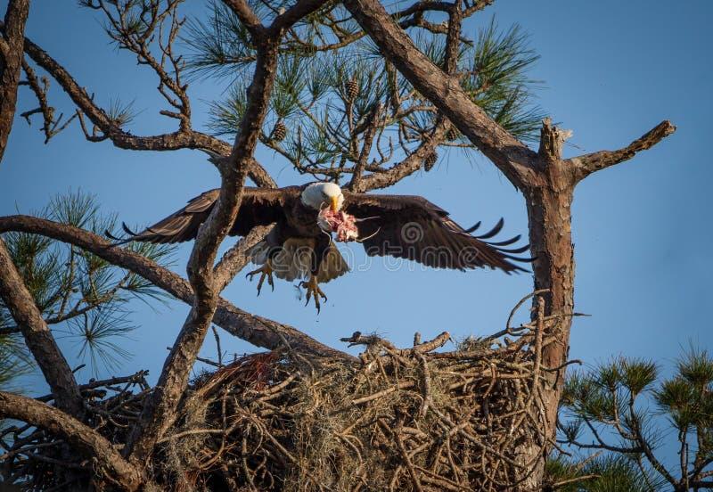 Американский белоголовый орлан приносит еду к детенышам стоковые фотографии rf