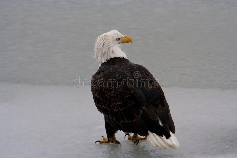 Американский белоголовый орлан стоит на замороженном реке стоковые изображения