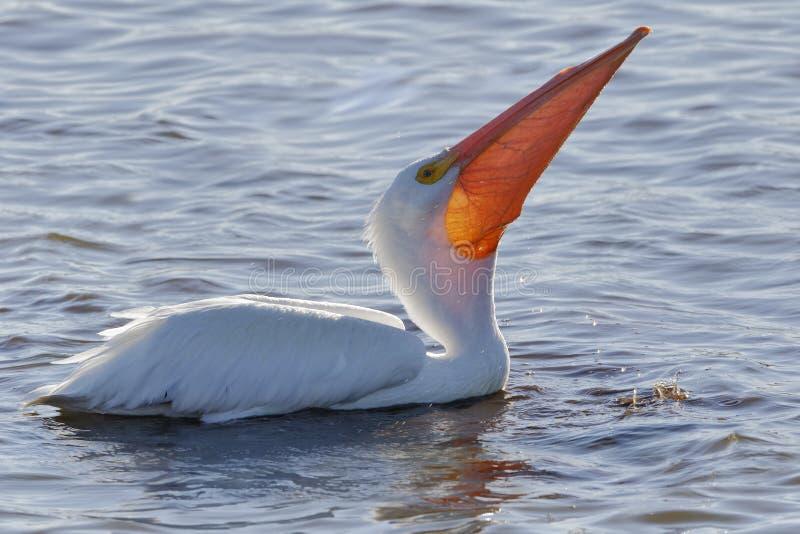 Американский белый пеликан фуражируя в заболоченном месте Флориды стоковые фотографии rf