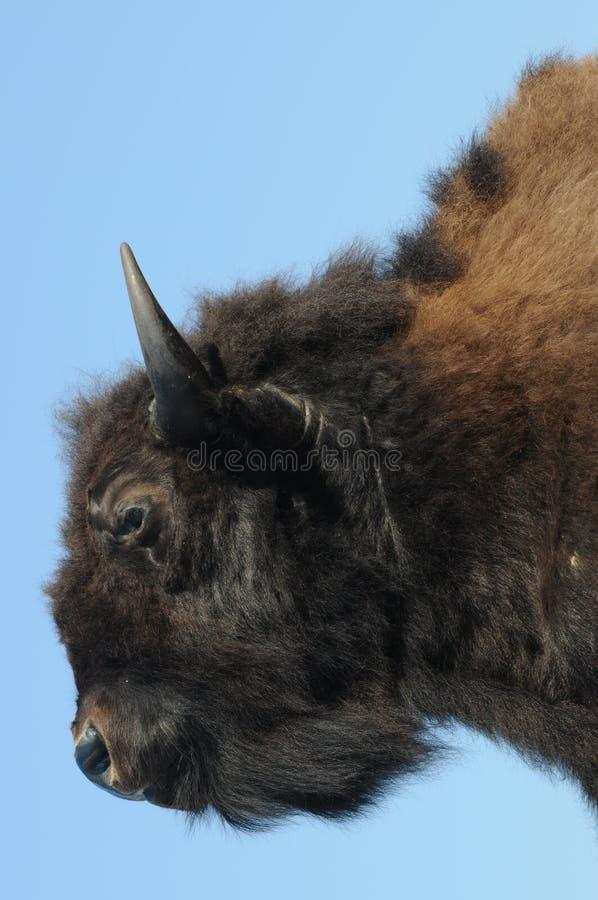Американский бизон/американский буйвол стоковые фото