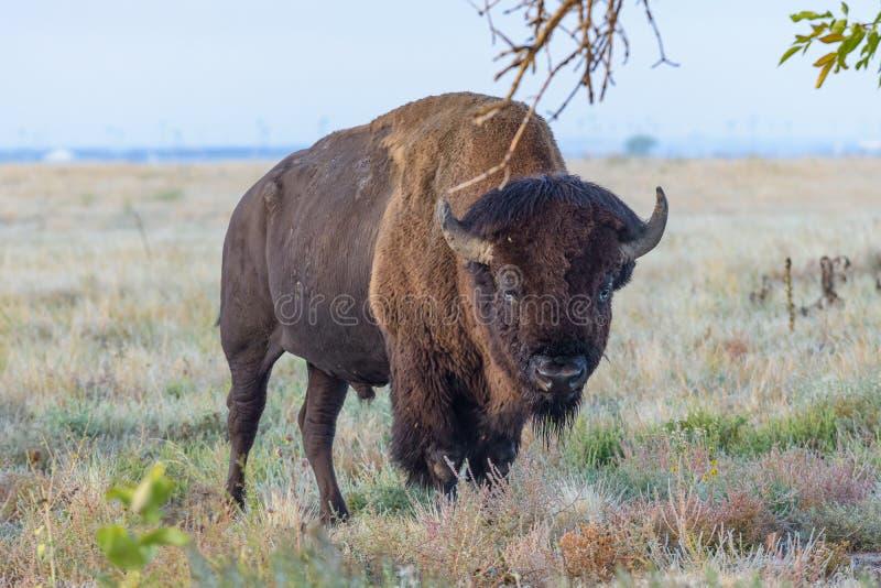 Американский бизон на высоких равнинах Колорадо стоковые фотографии rf