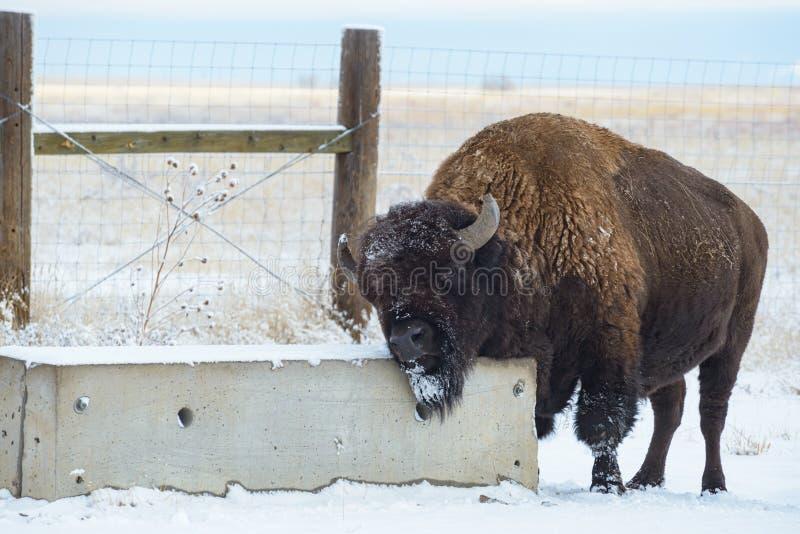 Американский бизон на высоких равнинах Колорадо стоковое фото