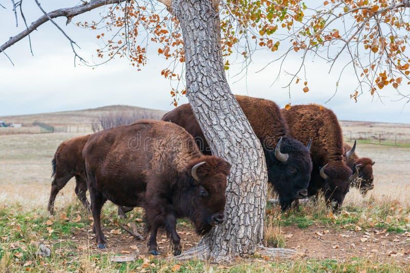 Американский бизон на высоких равнинах Колорадо стоковая фотография