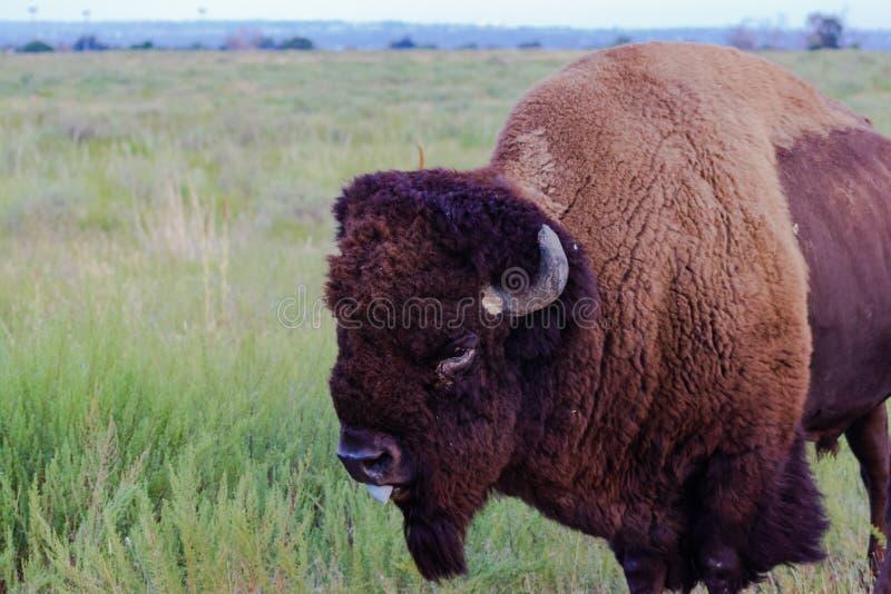 Американский бизон на прерии, левый взгляд со стороны, язык вне стоковая фотография rf