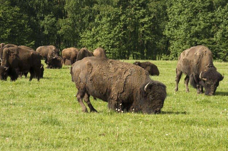 Американский бизон пася стоковые фото