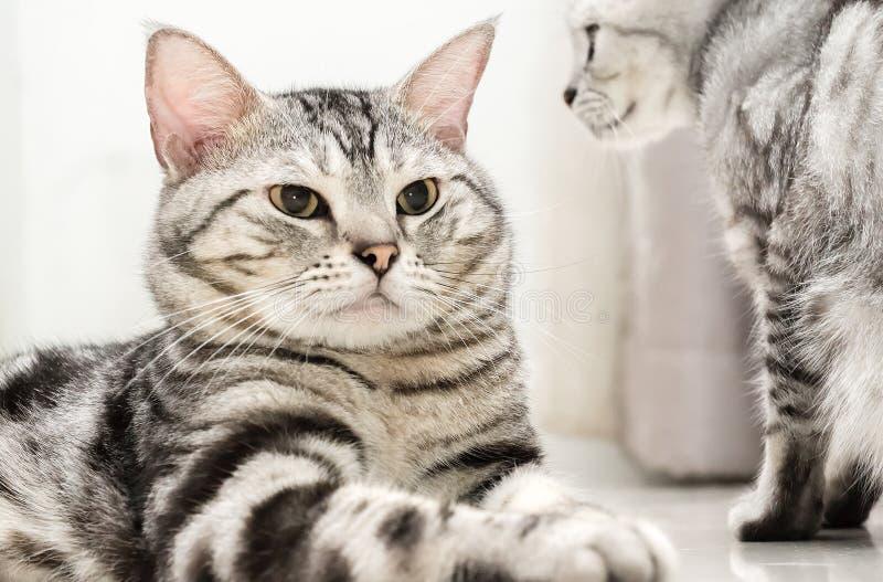 Американский кот shorthair сидит стоковое изображение rf