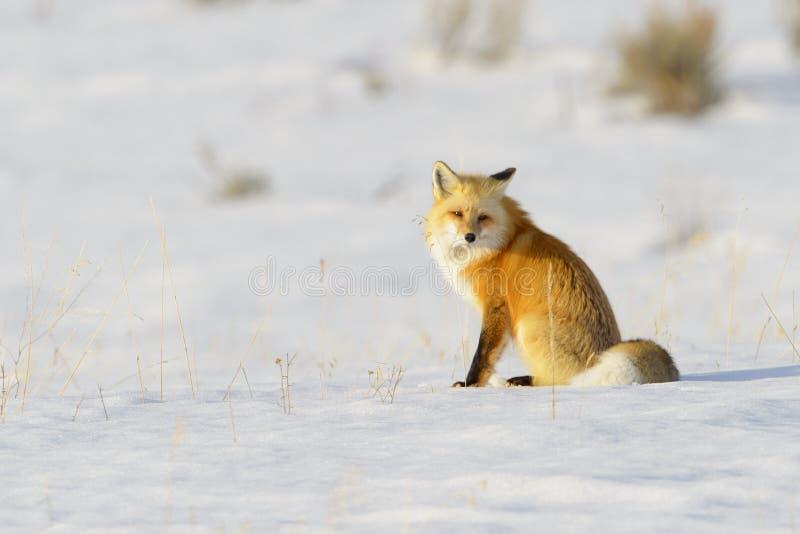 Американский красный Fox отдыхая в снеге, низкий угол стоковое фото