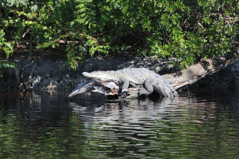 американский крокодил стоковое фото rf