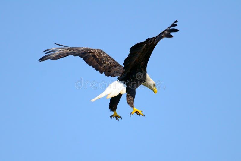 американский облыселый орел стоковое фото rf