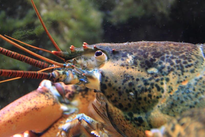 Американский омар стоковое изображение rf