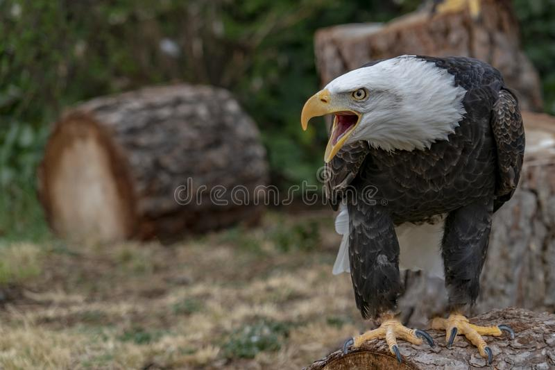 Американский портрет белоголового орлана стоковые изображения