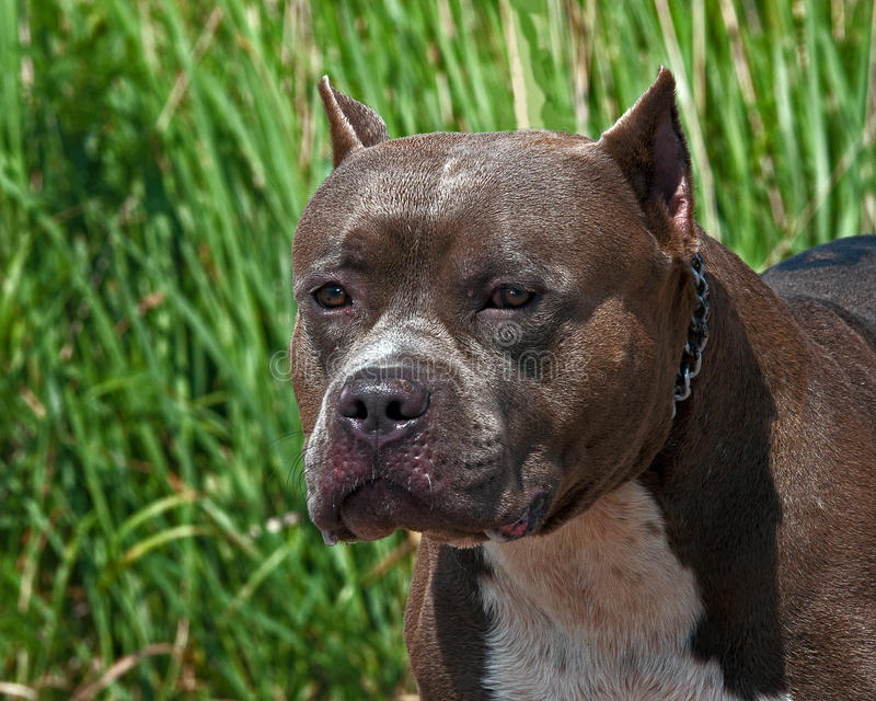 Американский портрет терьера pitbull головы стоковые изображения rf