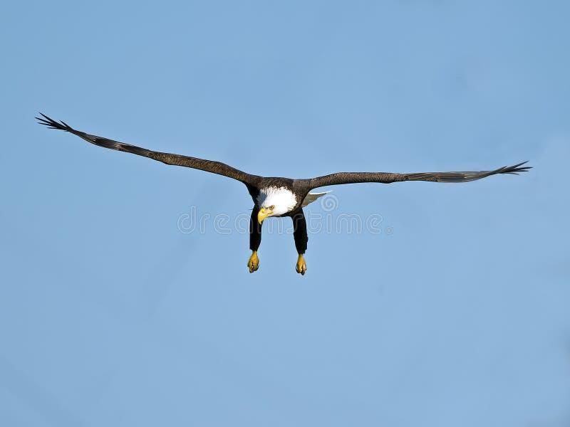 американский полет облыселого орла стоковые изображения rf