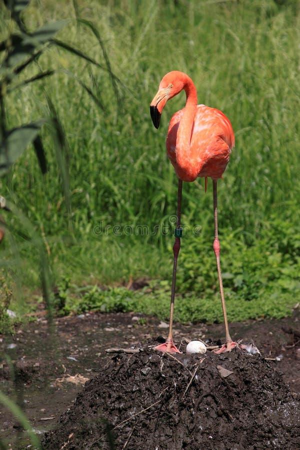 американский разводя фламинго стоковое фото