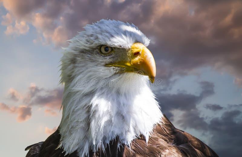 Американский седоволасый орел, красивая птица охотника с белизной он стоковые изображения