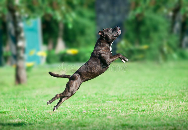 Американский терьер pitbull скачет стоковое фото rf
