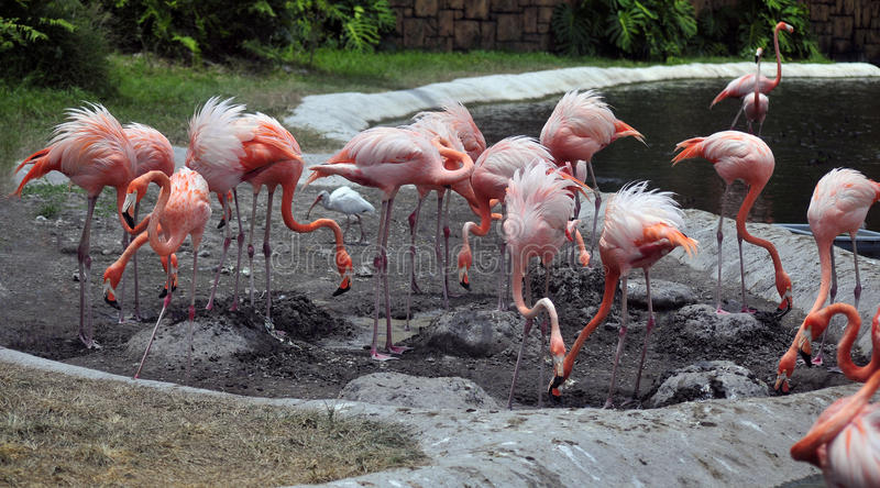 американский фламинго стоковое изображение rf