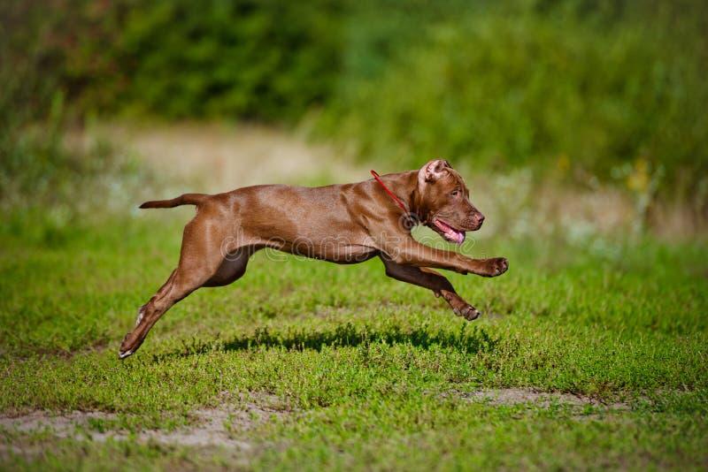 Американский ход щенка терьера питбуля стоковые изображения rf