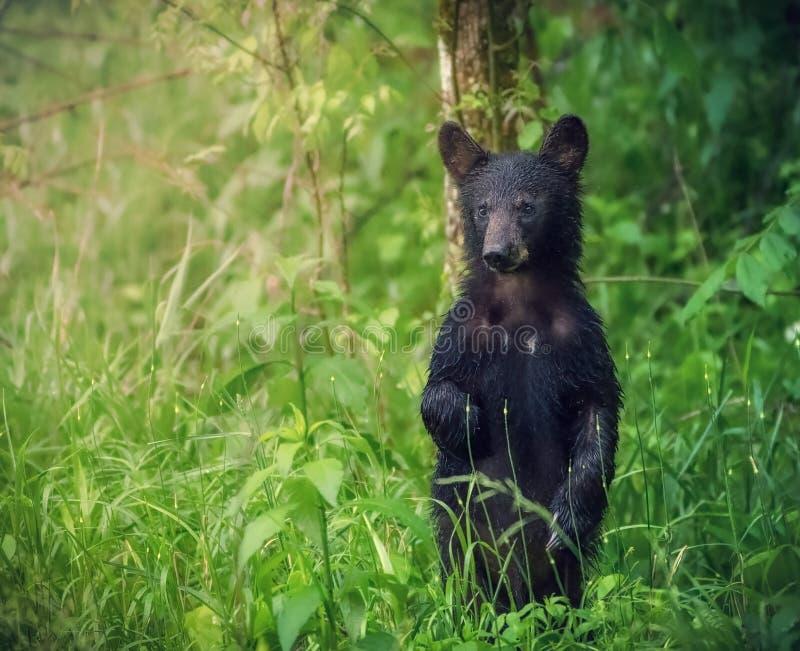 Американский черный медведь стоит и смотрит туристов на большом национальном парке закоптелых гор стоковая фотография
