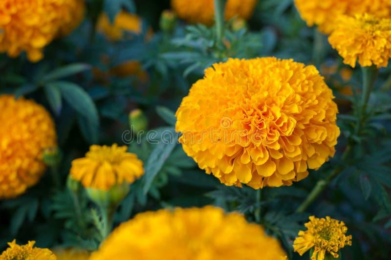 Американский calendula желтого цвета ноготк зацветая в предпосылке сада, властительском erecta l Tagetes стоковое фото rf