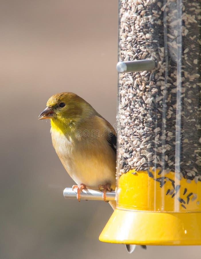 Американский Goldfinch в Plumage зимы стоковые фото