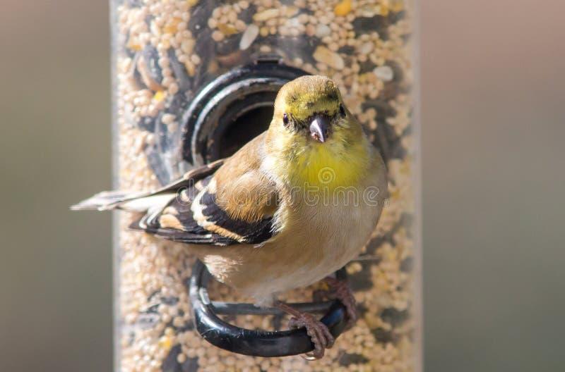 Американский Goldfinch в Plumage зимы стоковая фотография