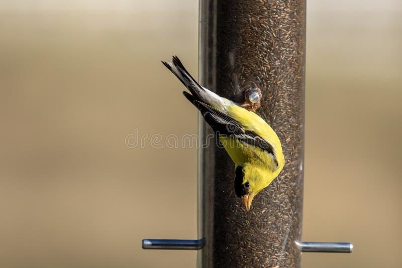 Американский goldfinch садился на насест вверх ногами и еда от фидера стоковая фотография