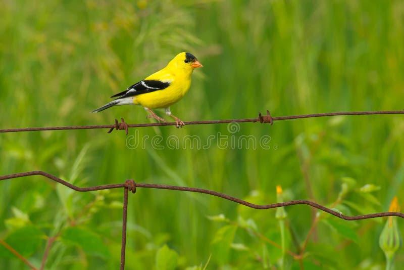 американский goldfinch стоковая фотография
