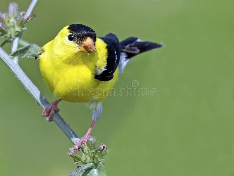 американский goldfinch стоковые изображения rf
