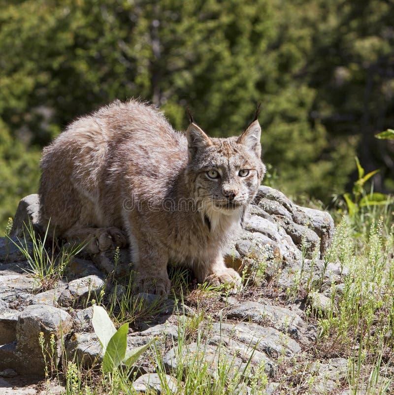 Американский Lynx