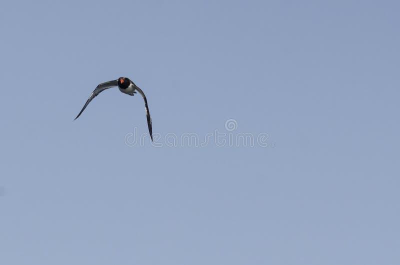 Американский Oystercatcher в полете делая визуальный контакт стоковая фотография rf