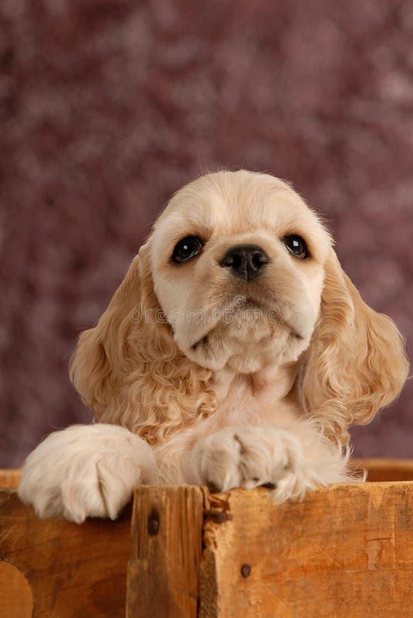 американский spaniel щенка кокерспаниеля стоковое изображение