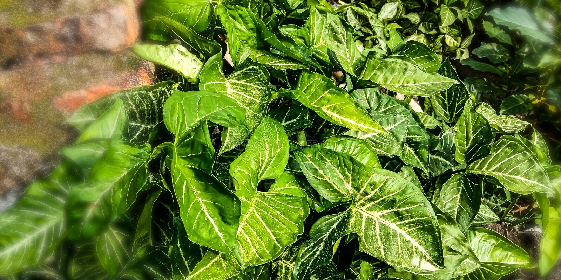 Американское вечнозелёное растение в угле дома стоковые фото