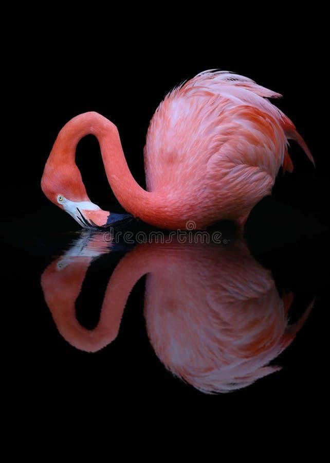 Американское отражение воды фламинго стоковое изображение rf