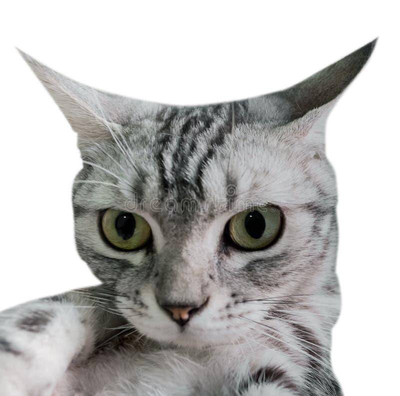 Американское selfie кота shorthair с smartphone Изолировано на белизне стоковое изображение