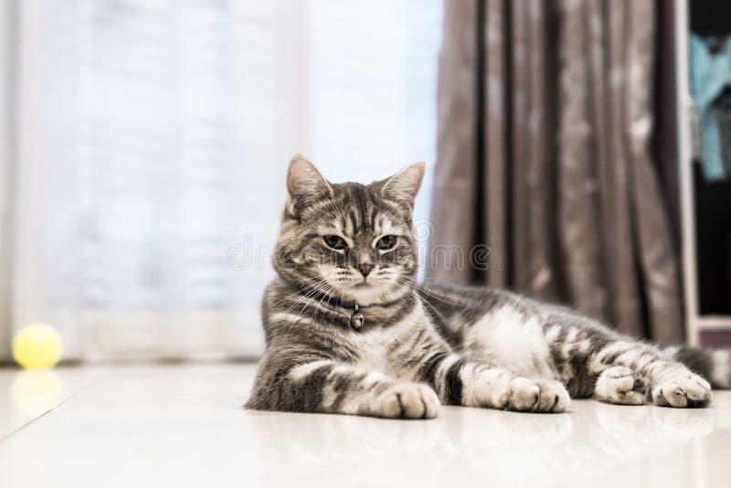 Американское shorthair кота стоковое изображение