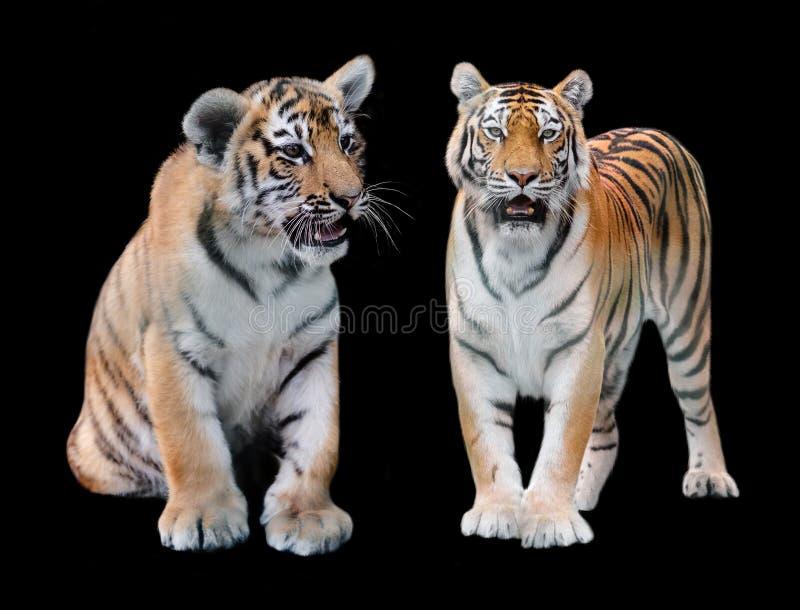 2 Амур из тигра стоковая фотография