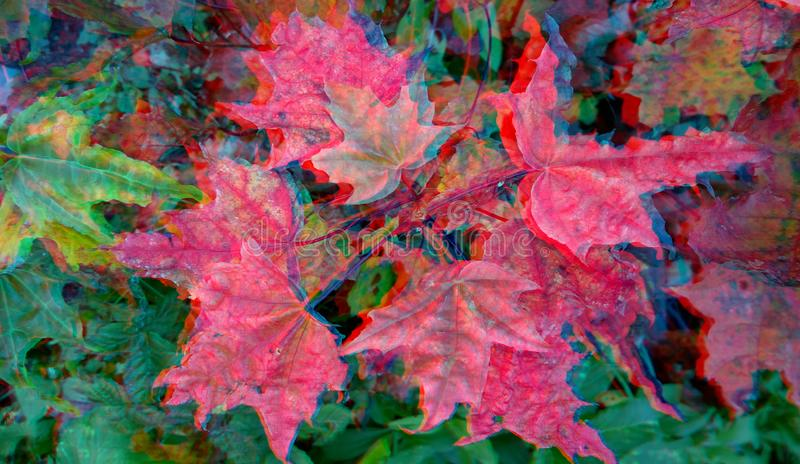 анаглиф 3D Красные кленовые листы стоковые фотографии rf